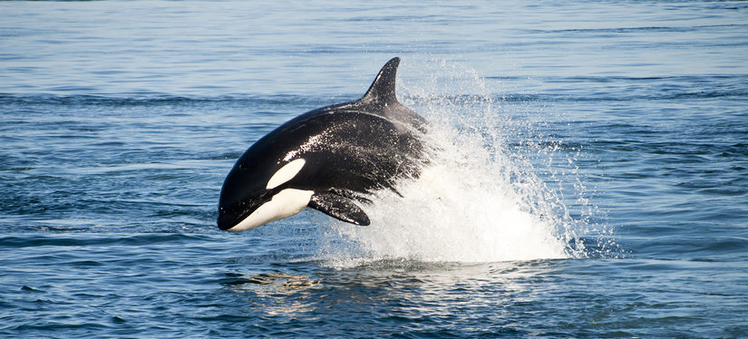 Water Pollution – Are Killer Whales the Next Victims of PCB Contamination?